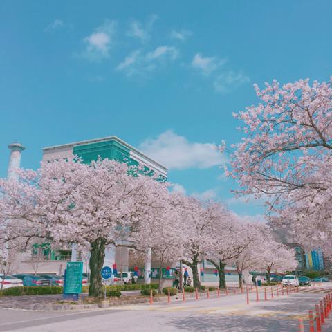 2018년 봄 벚꽃